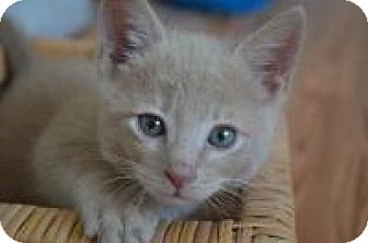 Domestic Shorthair Kitten for adoption in Mission Viejo, California - Gino