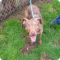 Adopt A Pet :: Debo - Seattle, WA