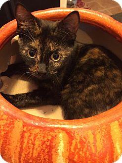Domestic Shorthair Kitten for adoption in Atlanta, Georgia - Claudette 161795