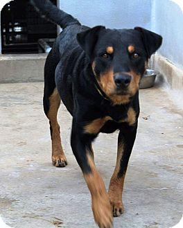 Rottweiler Mix Puppy for adoption in Staunton, Virginia - Hawk