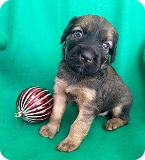 Labrador Retriever/Catahoula Leopard Dog Mix Puppy for adoption in Alpharetta, Georgia - Zambia
