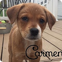 Adopt A Pet :: Carmen - House Springs, MO