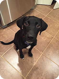 Labrador Retriever Mix Puppy for adoption in Plainfield, Connecticut - Rudy