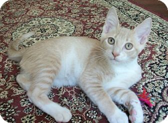 Domestic Shorthair Kitten for adoption in Reston, Virginia - Connor
