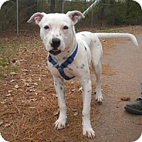 Adopt A Pet :: Pongo - Athens, GA