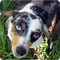 Adopt A Pet :: Pearl - San Jose, CA