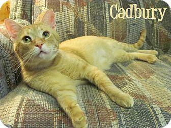 Domestic Shorthair Cat for adoption in Covington, Kentucky - Cadbury