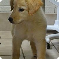 Adopt A Pet :: Kaylee - Brattleboro, VT