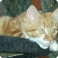 Adopt A Pet :: Gorgeous George - Delmont, PA