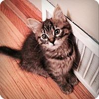Adopt A Pet :: Jazz (confident cutie) - Roseville, MN