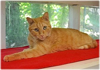 Domestic Shorthair Cat for adoption in Huntington, New York - Cheddar