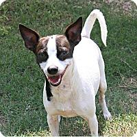 Adopt A Pet :: Rex - Richland Hills, TX