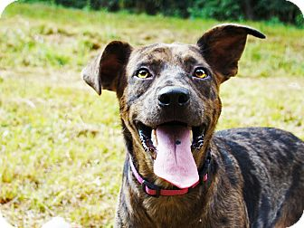 Catahoula Leopard Dog/Labrador Retriever Mix Dog for adoption in Waynesboro, Tennessee - Marty