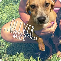 Black Mouth Cur Mix Puppy for adoption in Sarasota, Florida - Oliver