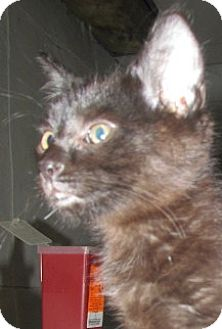 Domestic Shorthair Kitten for adoption in Germantown, Maryland - Spooky