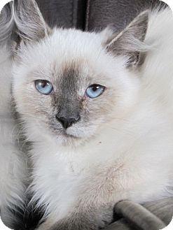 Himalayan Cat for adoption in Woodland Hills, California - COTTON