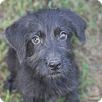 Adopt A Pet :: Brillo~meet me~ - Glastonbury, CT