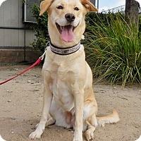 Labrador Retriever Dog for adoption in San Diego, California - Ellie