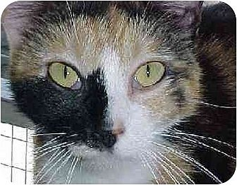 Domestic Shorthair Cat for adoption in Longview, Washington - Mouse Patrol