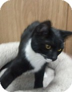 Domestic Shorthair Cat for adoption in Anchorage, Alaska - Button