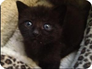 Domestic Shorthair Kitten for adoption in Island Park, New York - Matthew, Mark, Luke & John