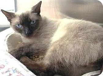 Siamese Cat for adoption in Miami, Florida - Lucy