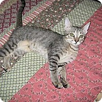 Adopt A Pet :: Amelia - Bonita Springs, FL
