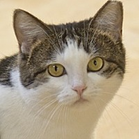 Domestic Shorthair Cat for adoption in Chicago, Illinois - Petra