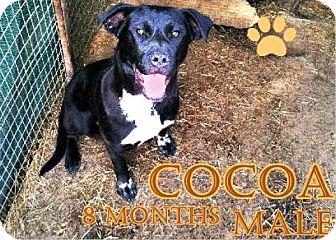 Labrador Retriever/Boxer Mix Dog for adoption in Boaz, Alabama - Cocoa