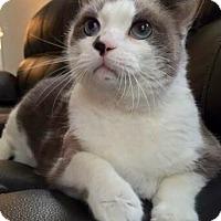 Adopt A Pet :: Smudge - Addison, IL