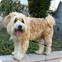 Adopt A Pet :: Brewster - Los Angeles, CA