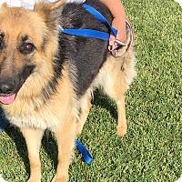 German Shepherd Dog Dog for adoption in Santa Ana, California - Erika (AT)