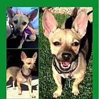 Terrier (Unknown Type, Small)/Chihuahua Mix Puppy for adoption in Scottsdale, Arizona - Babybel