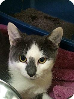 Domestic Shorthair Kitten for adoption in Richboro, Pennsylvania - Popeye