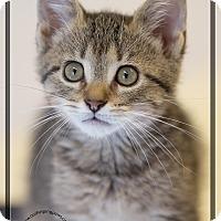 Adopt A Pet :: Teddy Bear - Washburn, WI