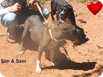 Pit Bull Terrier/Terrier (Unknown Type, Medium) Mix Dog for adoption in Pensacola, Florida - Sim & Sam