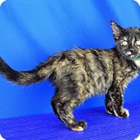 Calico Kitten for adoption in Carencro, Louisiana - Ophelia