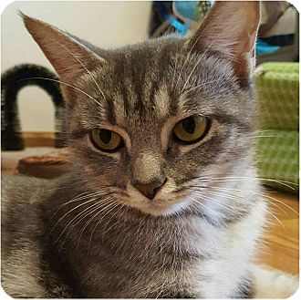 Domestic Shorthair Cat for adoption in Evans, West Virginia - Zeena
