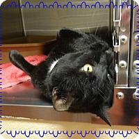 Domestic Shorthair Cat for adoption in Marietta, Georgia - HAMLET