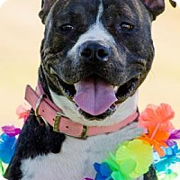 Boxer Mix Dog for adoption in Las Cruces, New Mexico - Lexi