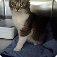 Adopt A Pet :: Foxy Lady - Templeton, MA