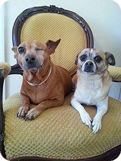 Dachshund/Chihuahua Mix Dog for adoption in Gaithersburg, Maryland - Ruby & Allie