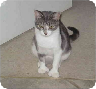 Domestic Shorthair Cat for adoption in Duncan, British Columbia - Mittens
