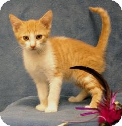 Domestic Shorthair Kitten for adoption in Sacramento, California - Sully