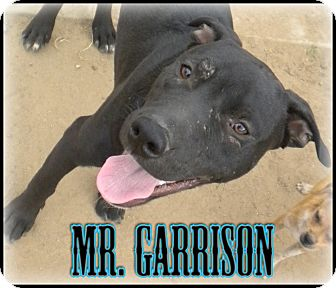 Australian Cattle Dog/Australian Kelpie Mix Puppy for adoption in Bakersfield, California - Mr. Garrison