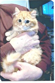 Domestic Longhair Kitten for adoption in Acme, Pennsylvania - Marmalade