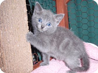 Strudel | Adopted Kitten | East Brunswick, NJ | Russian Blue