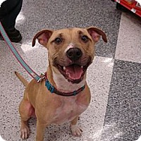 Shepherd (Unknown Type)/Pit Bull Terrier Mix Dog for adoption in Monrovia, California - Lucy