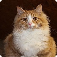 Domestic Longhair Cat for adoption in Maxwelton, West Virginia - Bruno