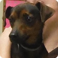 Jack Russell Terrier/Miniature Pinscher Mix Dog for adoption in Columbia, Tennessee - Trey/KY